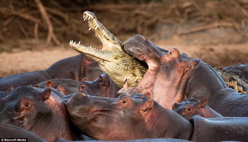 Sei Nazioni: ippopotami e coccodrilli thumbnail