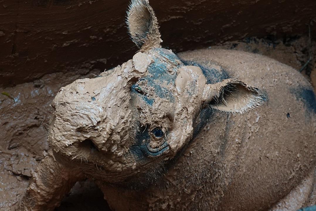 Una nuova speranza per il rinoceronte di Sumatra? thumbnail