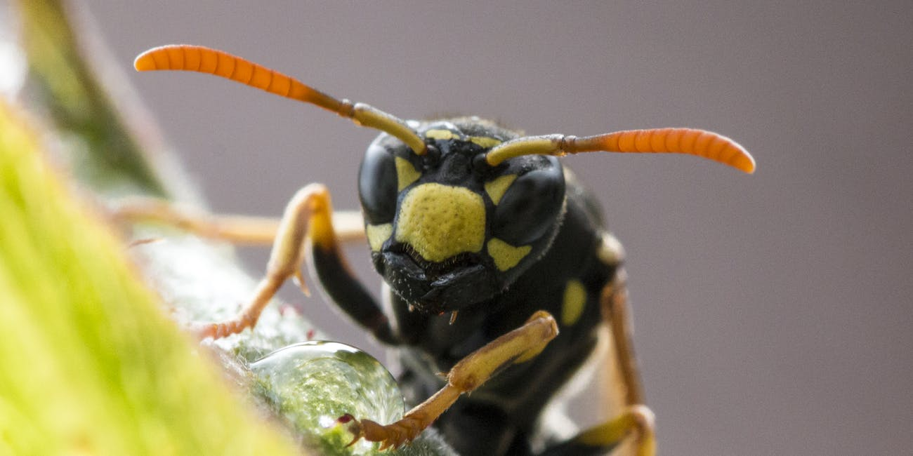 Gli ingegneri del MIT trasformano il veleno delle vespe in antibiotico thumbnail