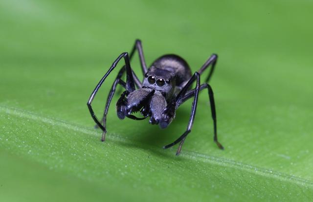 Il ragno che allatta i propri piccoli thumbnail