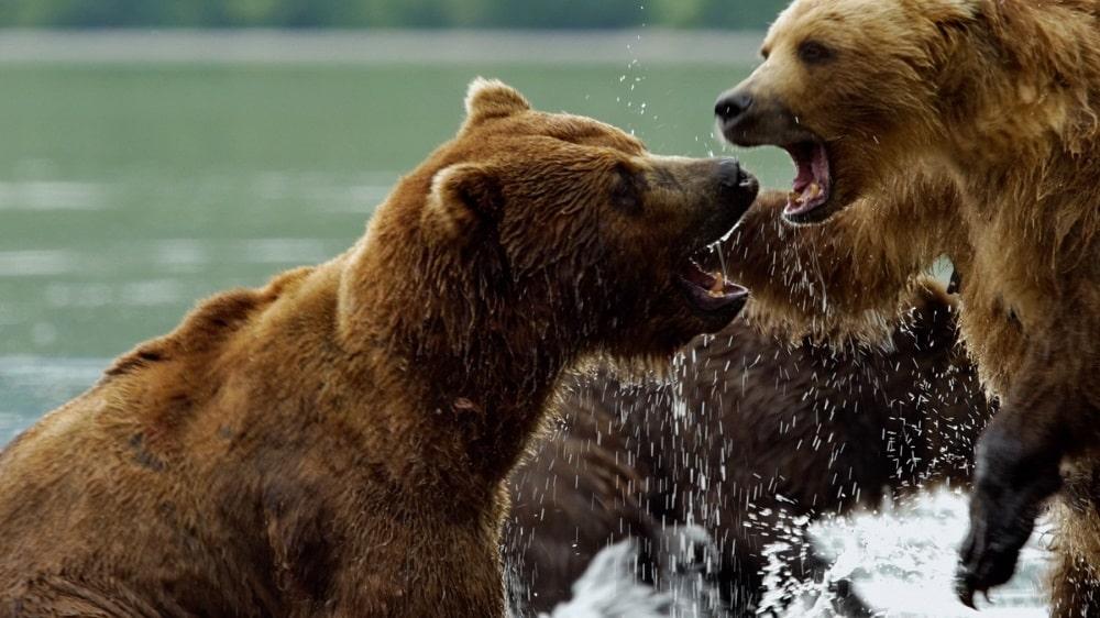 Gli orsi della Kamchatka film sulla natura per bambini